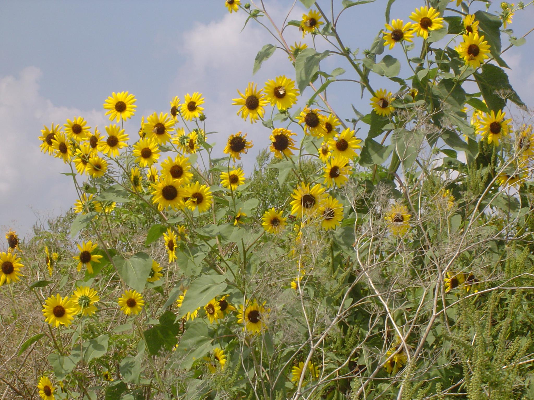 9 5 Sunflowers Vs Daisies Scientific Quilter